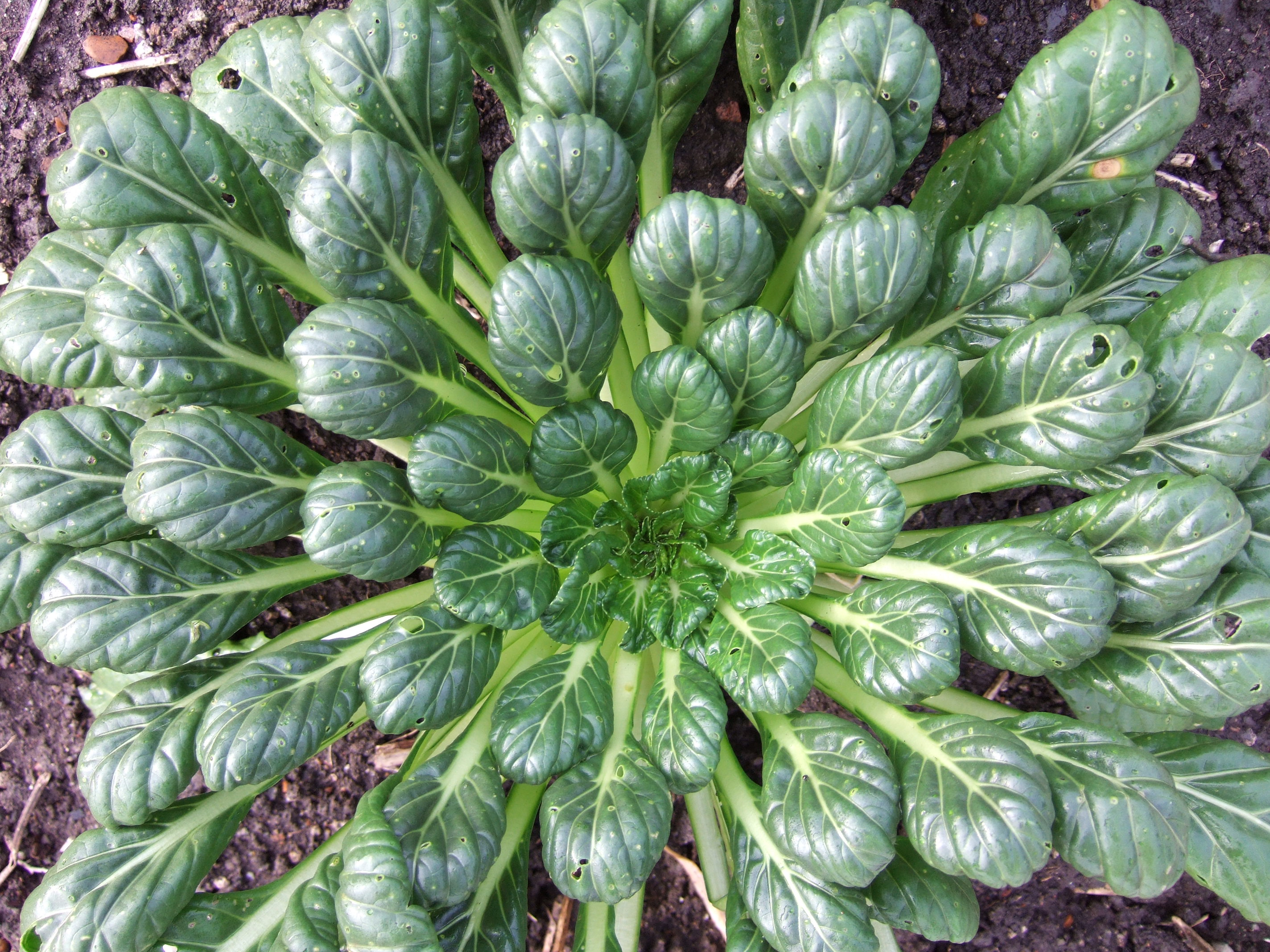 Tatsoi looking forward to harvesting lots of this over the summer